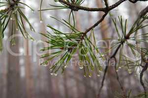 Water drops on pine-needle