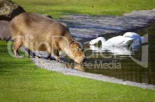 Wasserschwein beim Fressen auf der Wiese