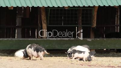 farm scene with pigs and goats
