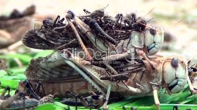 Riesenheuschrecke (Tropidacris collaris)