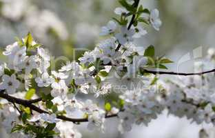 Spring flowers of cherry tree
