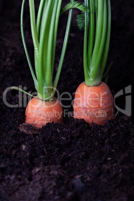 zwei Karotten in einem Gemüsebeet