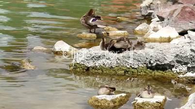 Wild duck family