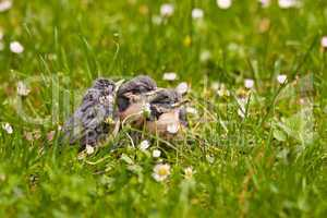 Junge Kleiber, Young Nuthatches