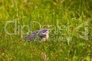 Junger Kleiber, Young Nuthatch