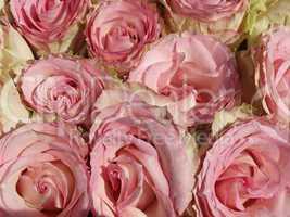 Rosen - Pink Roses in Germany