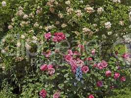 Garten mit Rosenstrauch und Rittersporn - Garden with rosebush, Germany