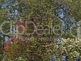 Garten mit Rosenstrauch und Clematis - Garden with rosebush and clematis
