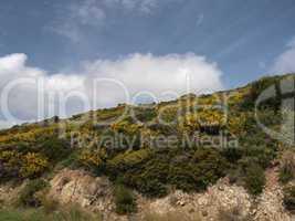 Ginsterbüsche an der Costa del Sud, Süd-Sardinien, Italien