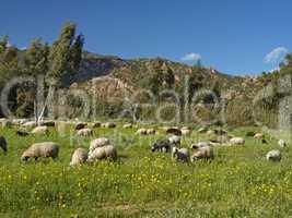 Schafherde bei San Priamo, im Südosten Sardiniens