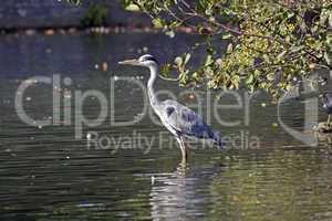 Graureiher (Ardea cinerea) an einem Teich