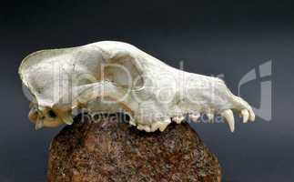 Skull of a predator