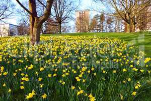 Meadow of daffodiles in the park