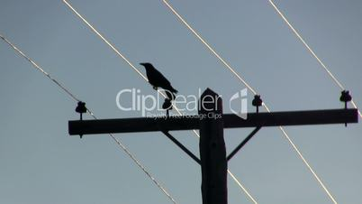Crow on wire silhouette