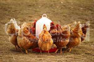 Gruppe Hühner in Freilandhaltung am Futtertrog