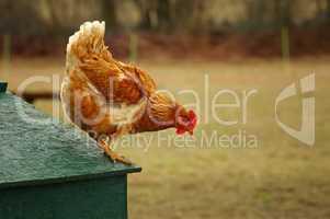 Huhn springt vom Dach des Stalls