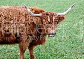 Portrait of a scotish cow