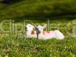 Pair of welsh lambs in meadow