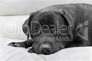 dog breed black labrador close up