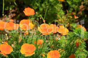 Kalifornische Mohnpflanze