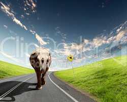 Elephant Bull in walking on a road