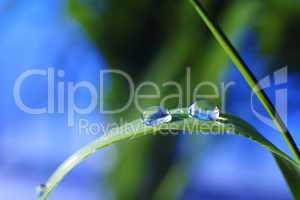 drop of dew