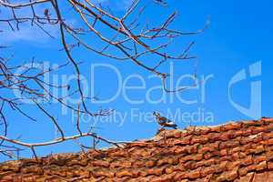Dove standing on an old tiled roof