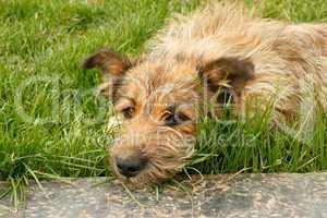 Rambling dog lying on green grass