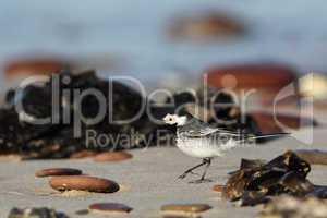 Bachstelze (Motacilla alba); White Wagtail (Motacilla alba)