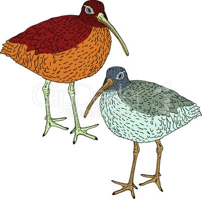 Eurasian Curlew, bird. Vector illustration.