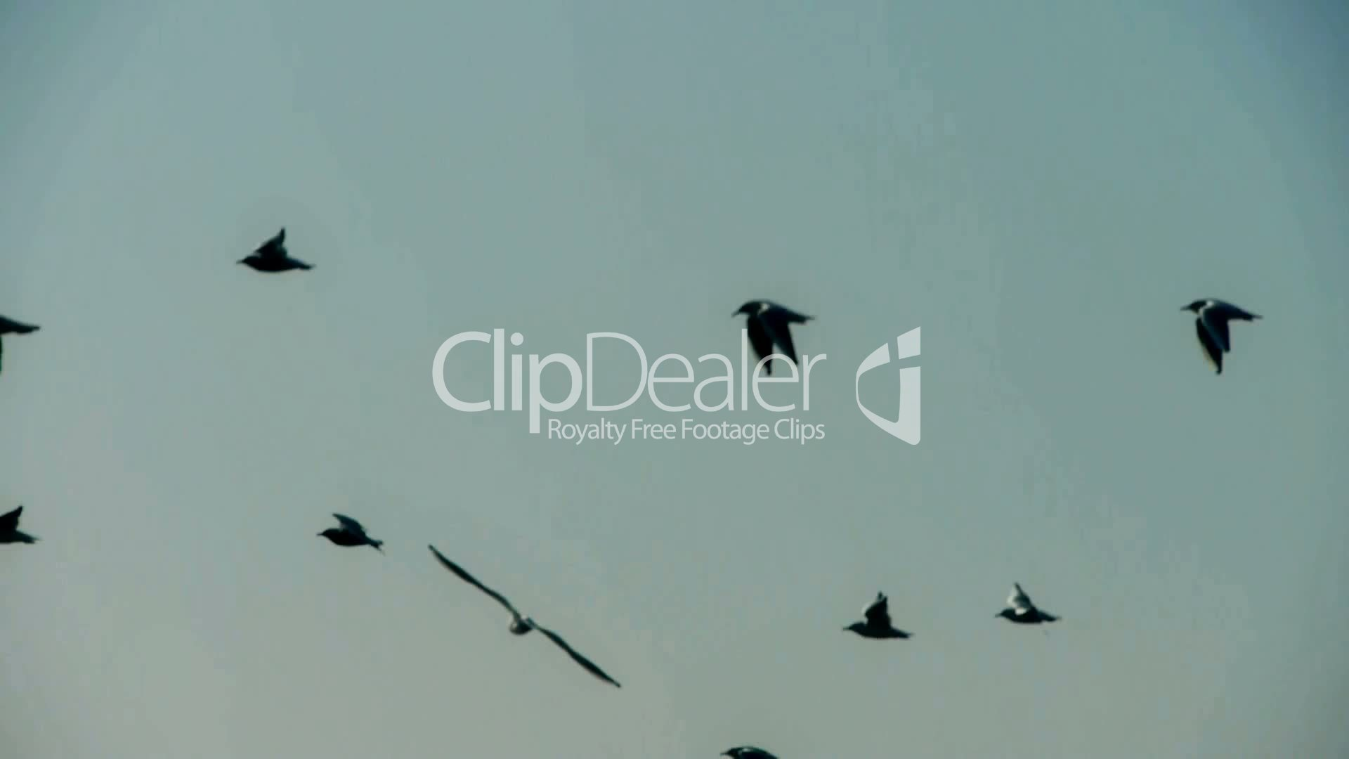 Silhouette of flock birds flying : Royalty-free video and