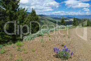 Flowers on gravel road with view of hills, vast valleys and Hawley Mountains, Challis National Forest, Idaho