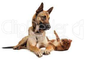 malinois and ginger cat