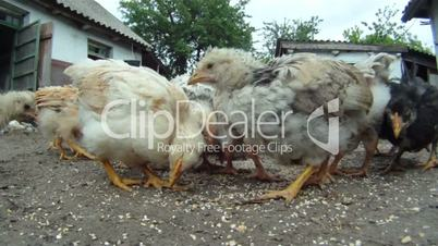 Food for chickens