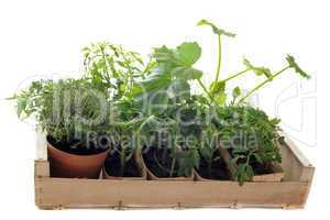 vegetables seedling in a crate
