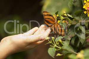 Child Hand Touching an Oak Tiger Butterfly on Flower