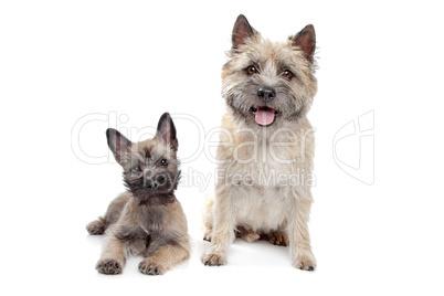 Cute Cairn Terrier Dog Portrait Close On Sky Backgrond Lizenzfreie