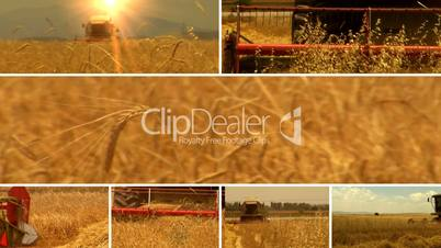 wheat harvesting split-screen