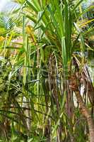 Wilde Ananas, Wild pinapple
