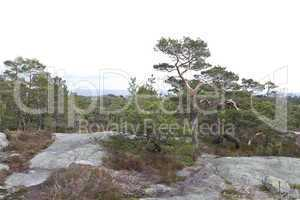 rural landscape with conifers in norway