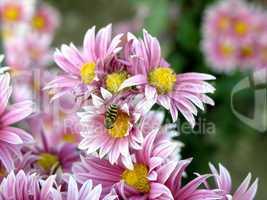 blossoming chrysanthemum