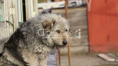A Shaggy Dog Sits Sad, Sniffs The Air, Close-up
