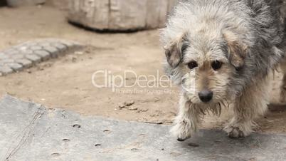 Shaggy dog  walking on the ground, wagging its tail
