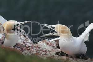 Basstölpel (Morus bassanus); Northern Gannets (Morus bassanus)