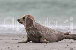Kegelrobbe (Halichoerus grypus); Grey Seal (Halichoerus grypus)
