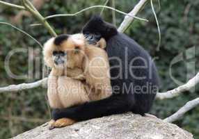 Gibbonpaar