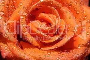 rain drop on rose
