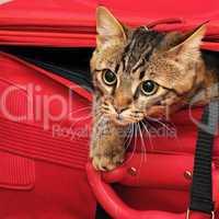 kitten in a suitcase
