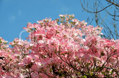 bl tenzweig hartriegel rosa pink lizenzfreie bilder und fotos. Black Bedroom Furniture Sets. Home Design Ideas