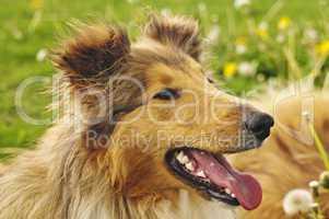 collie puppy sunny